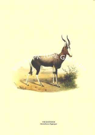 THE BONTEBOK - Damaliscus Pygargus